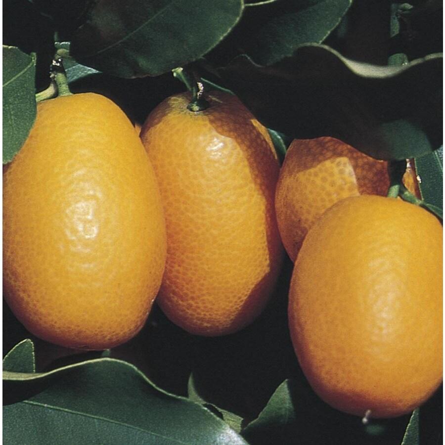 3.25-Gallon Kumquat Tree (L6099)