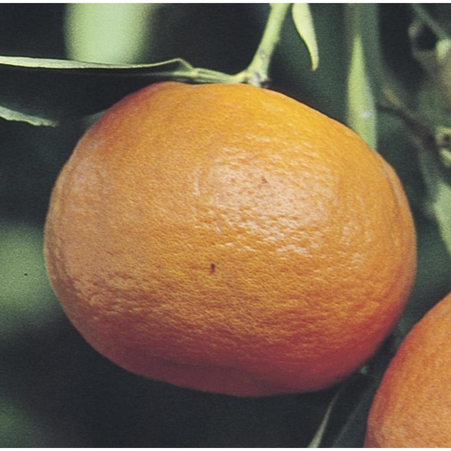 8.75-Gallon Tangelo Tree (L4687)