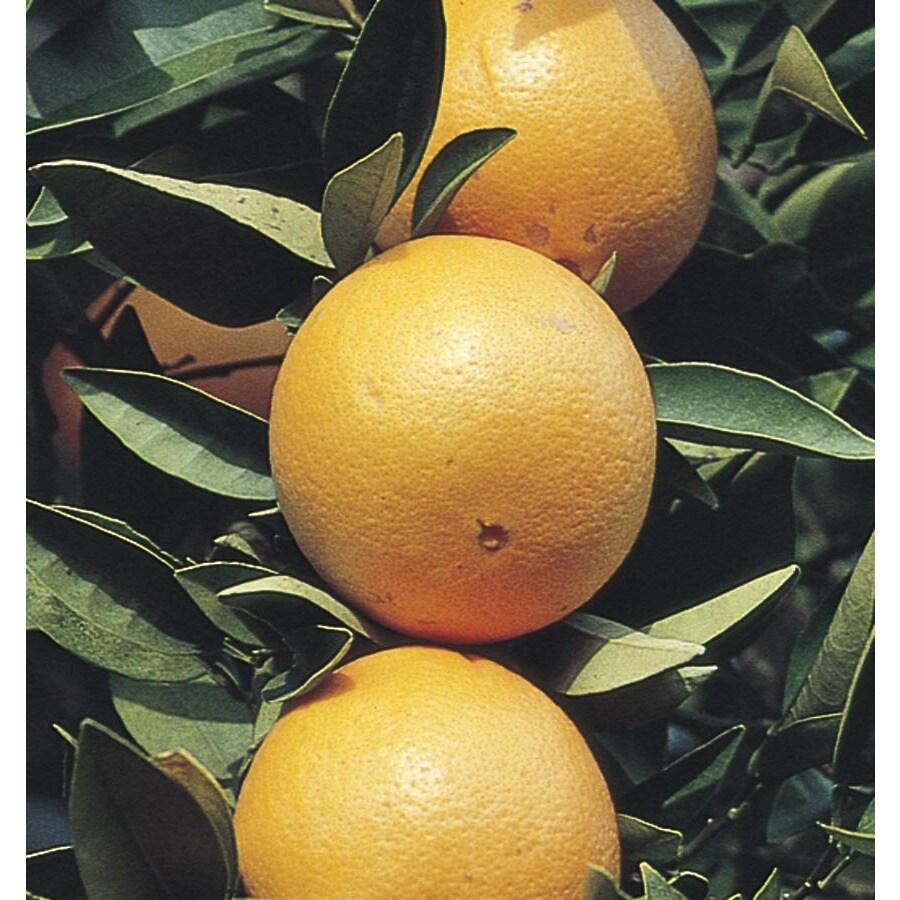 24.5-Gallon Navel Orange Tree (L4419C&M)