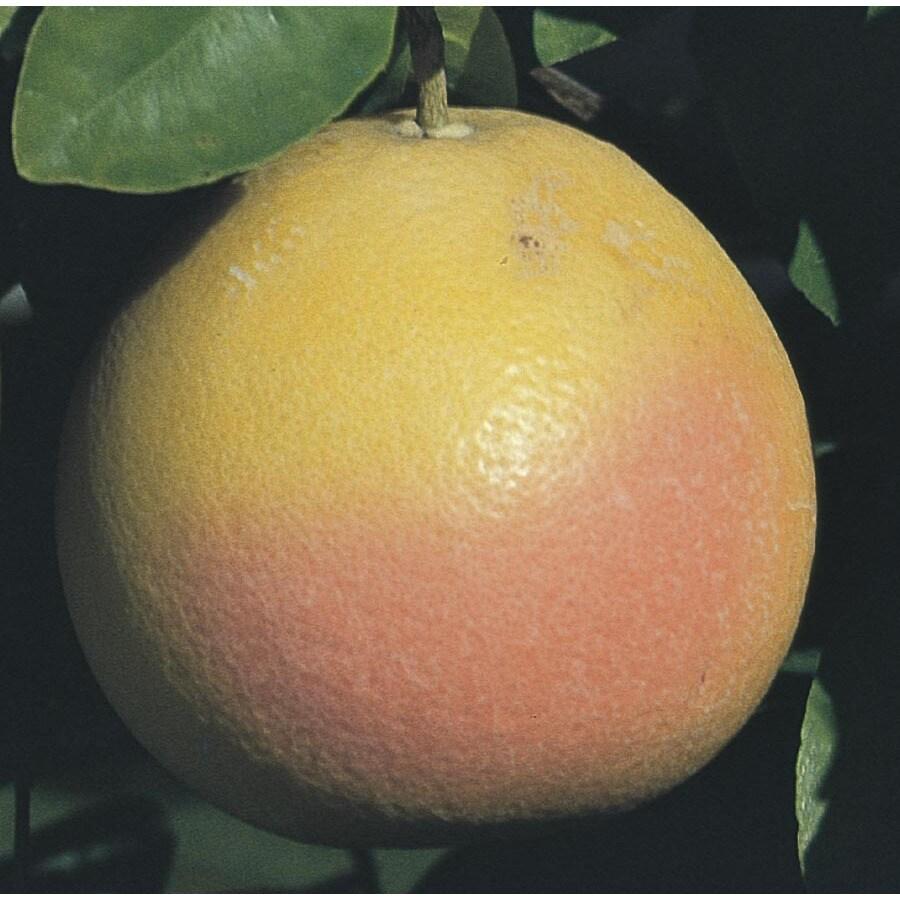 43.5-Gallon Grapefruit Tree (L4432)