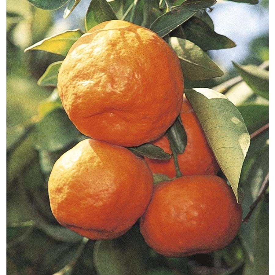 43.5-Gallon Satsuma Tangerine Tree (LW02828)