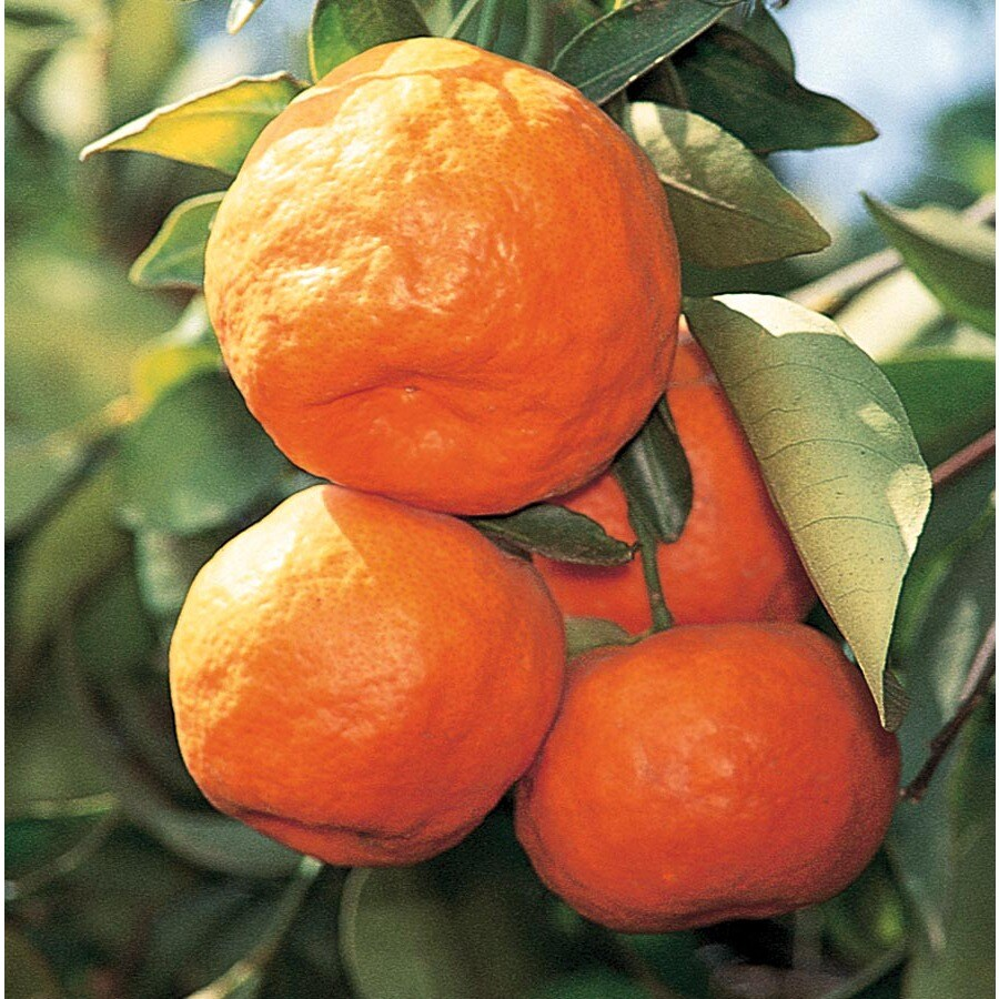 2.25-Gallon Satsuma Tangerine Tree (Lw02828)