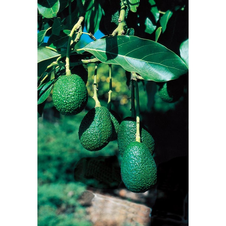 10.4-Gallon Avocado Tree (L5894)