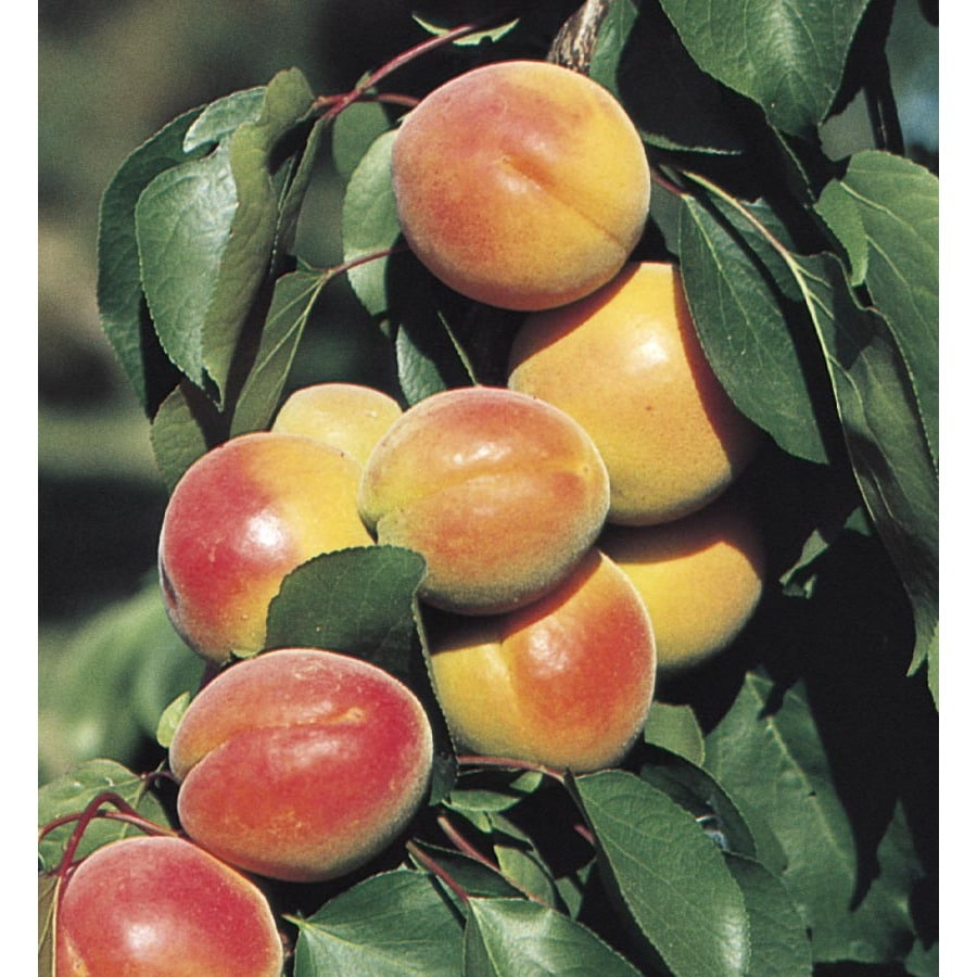 1.72-Gallon Royal Apricot Tree (L1315)
