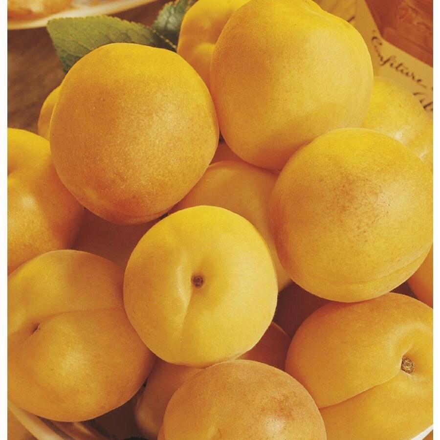 1.72-Gallon Gold Kist Apricot Tree (L20398)