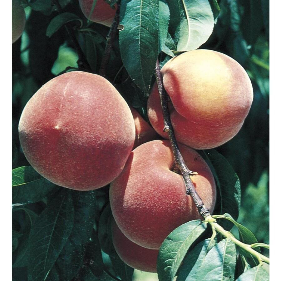 1.72-Gallon Early ELBerta Peach Tree (L1331)