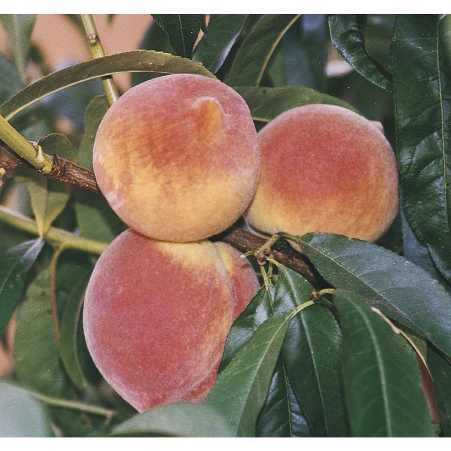 1.72-Gallon Red Baron Peach Tree (L11874)