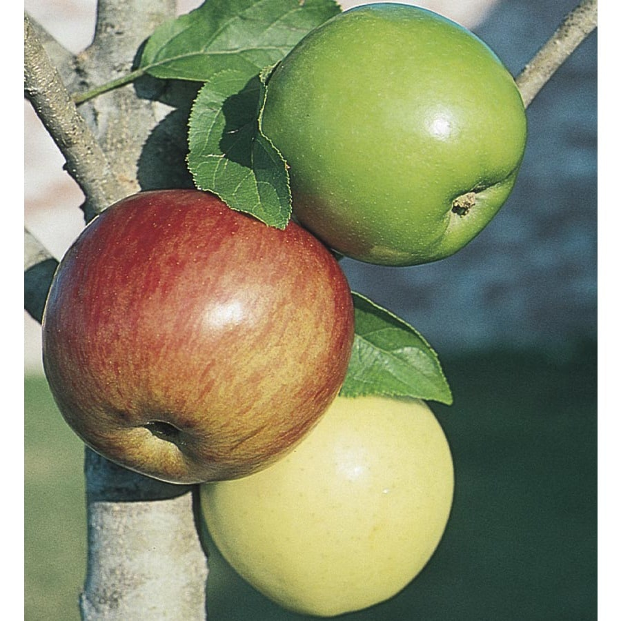 6.24-Gallon 3-n-1 Apple Tree (L7316)