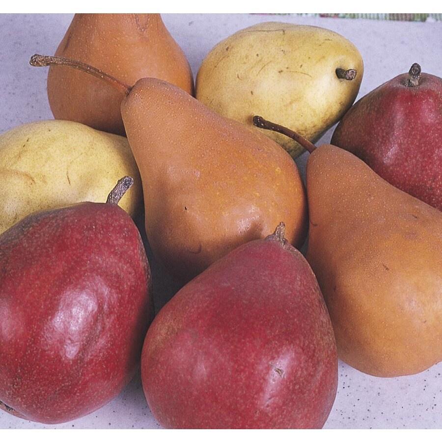 6.24-Gallon 3-n-1 Pear Tree (L10497)