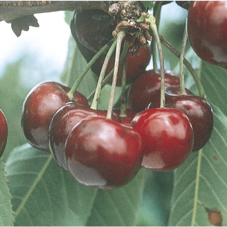 3.54-Gallon Patio Super Dwarf Lapins Cherry Tree (L26025)