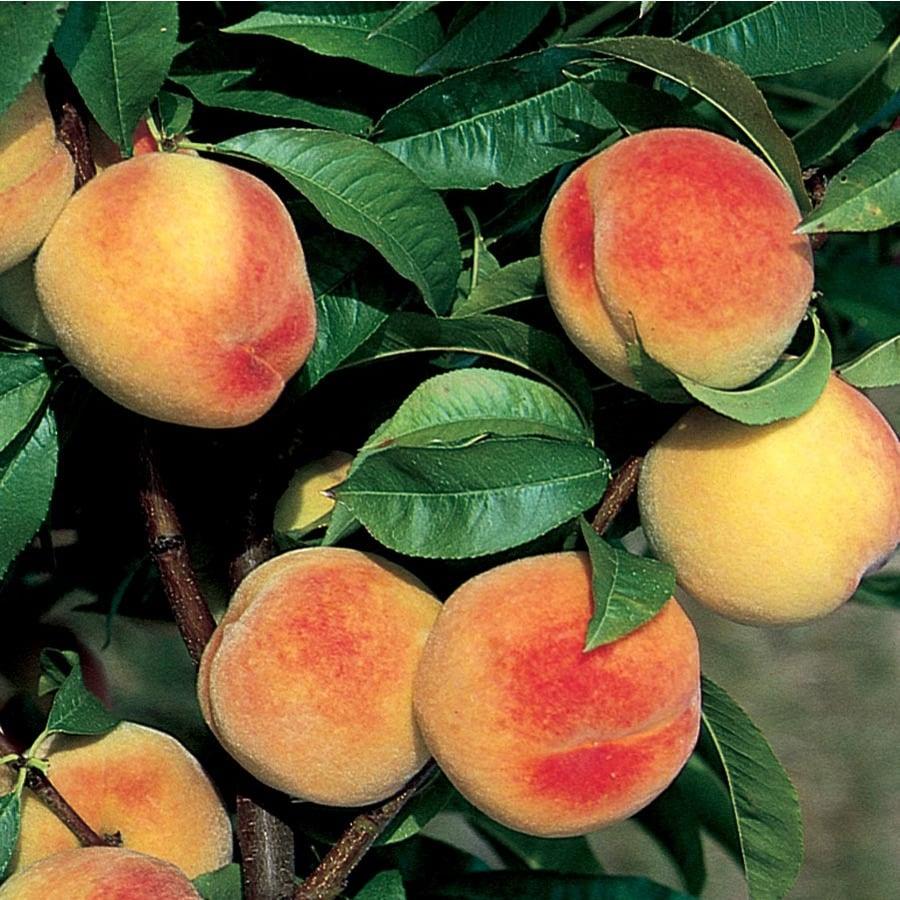 3.4-Gallon Babcock Ultra-Dwarf Peach Tree (L22674)