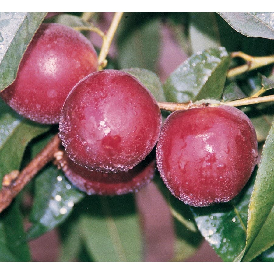 3.4-Gallon Patio Super Dwarf Panamint Nectarine Tree (L26026)