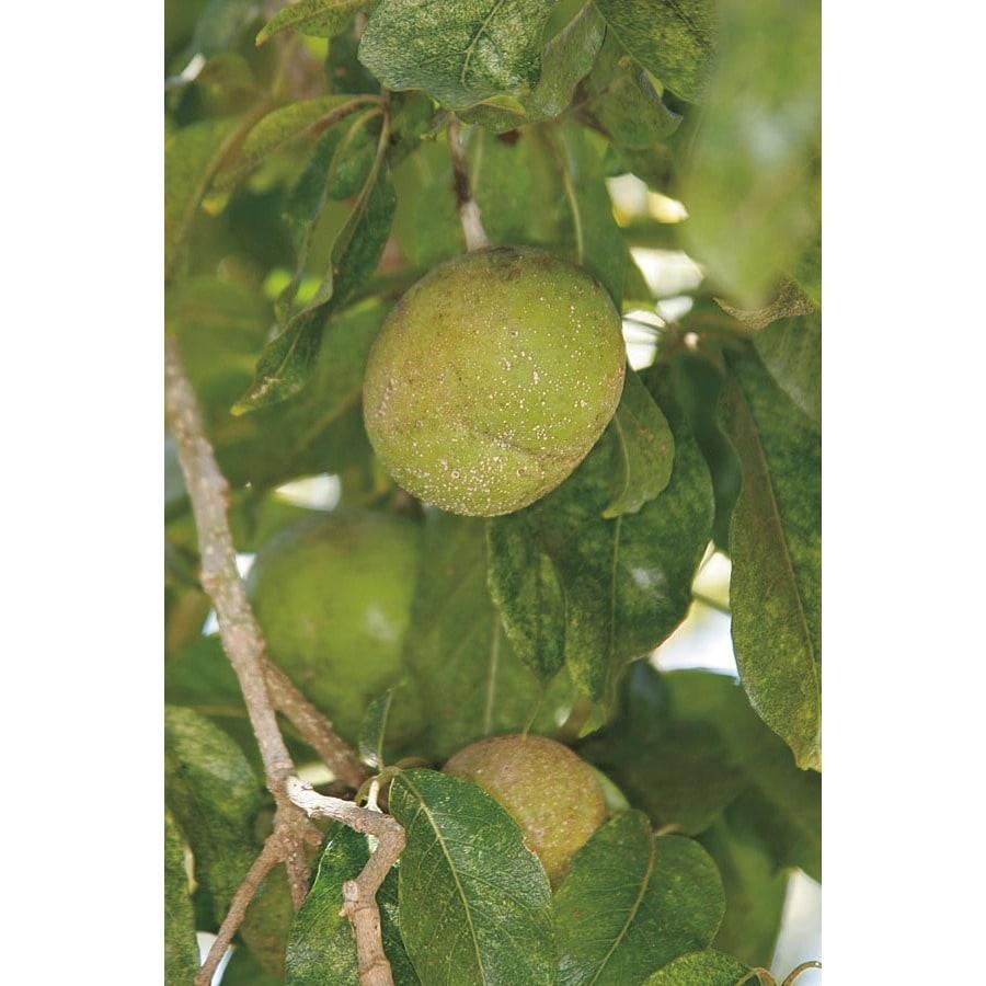 3.4-Gallon Suebelle Sapote Tree (LW01368)