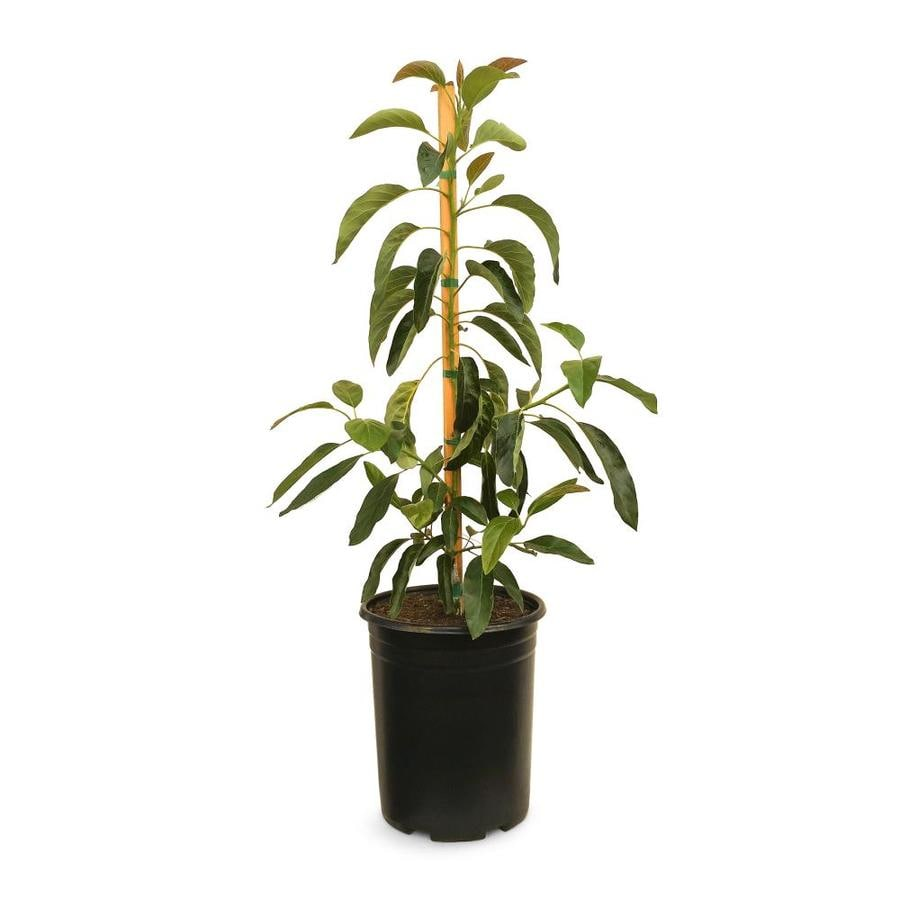 3.4-Gallon Avocado Tree (L5894)