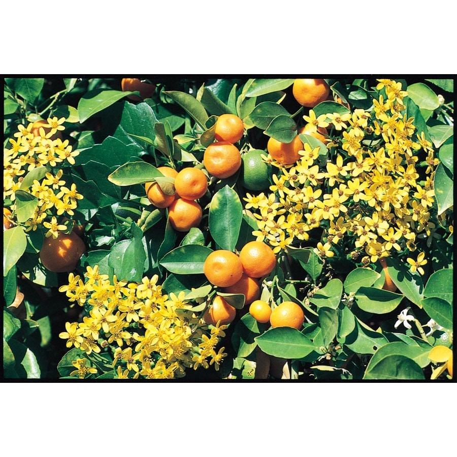 3.4-Gallon Calamondin Orange Tree (L5172C&M)