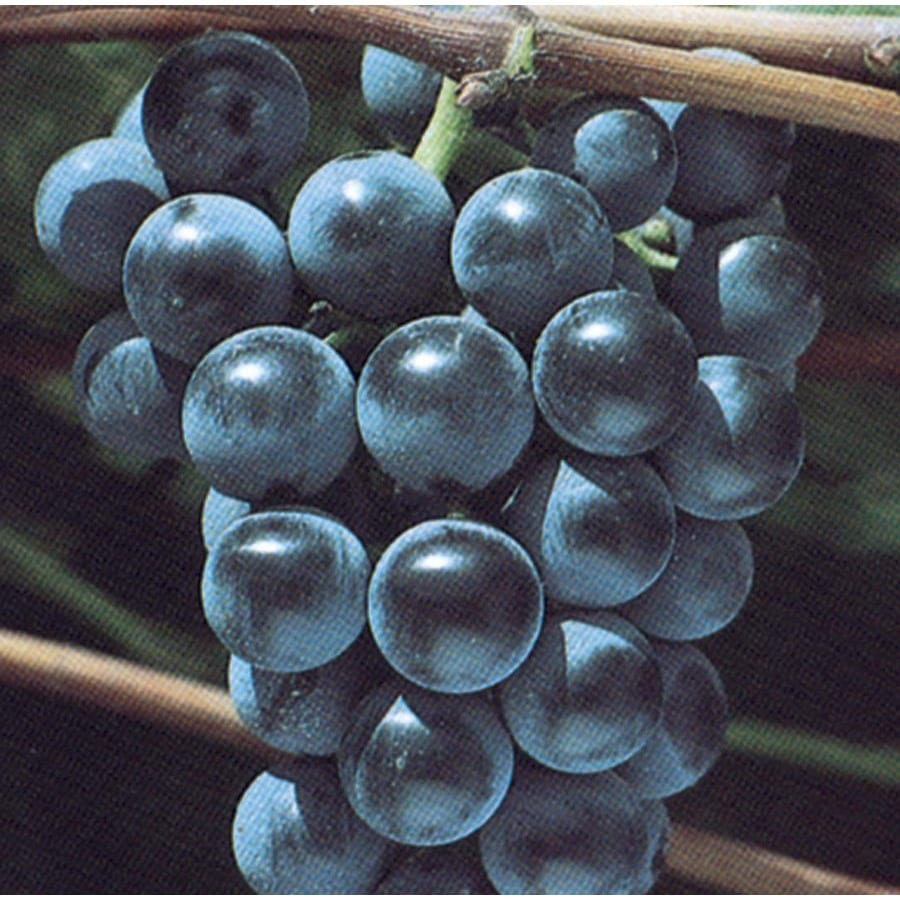 3.4-Gallon Grape Small Fruit (L6358)