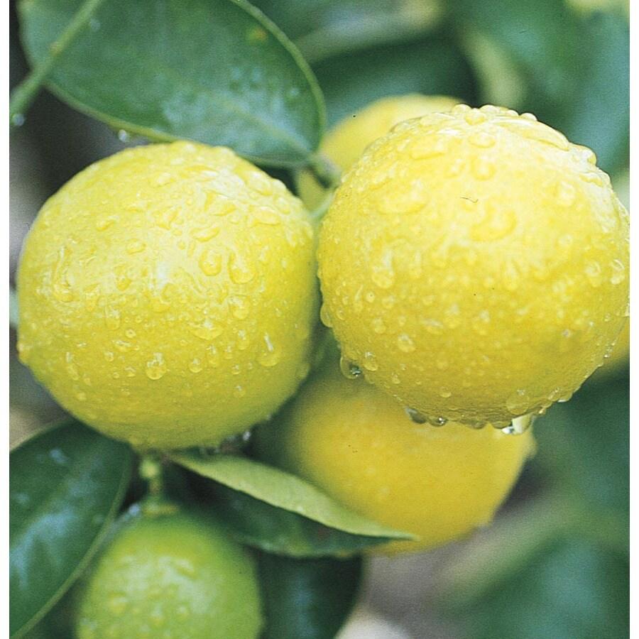 3.4-Gallon Sweet Semi-Dwarf Lime Tree (LW00084)