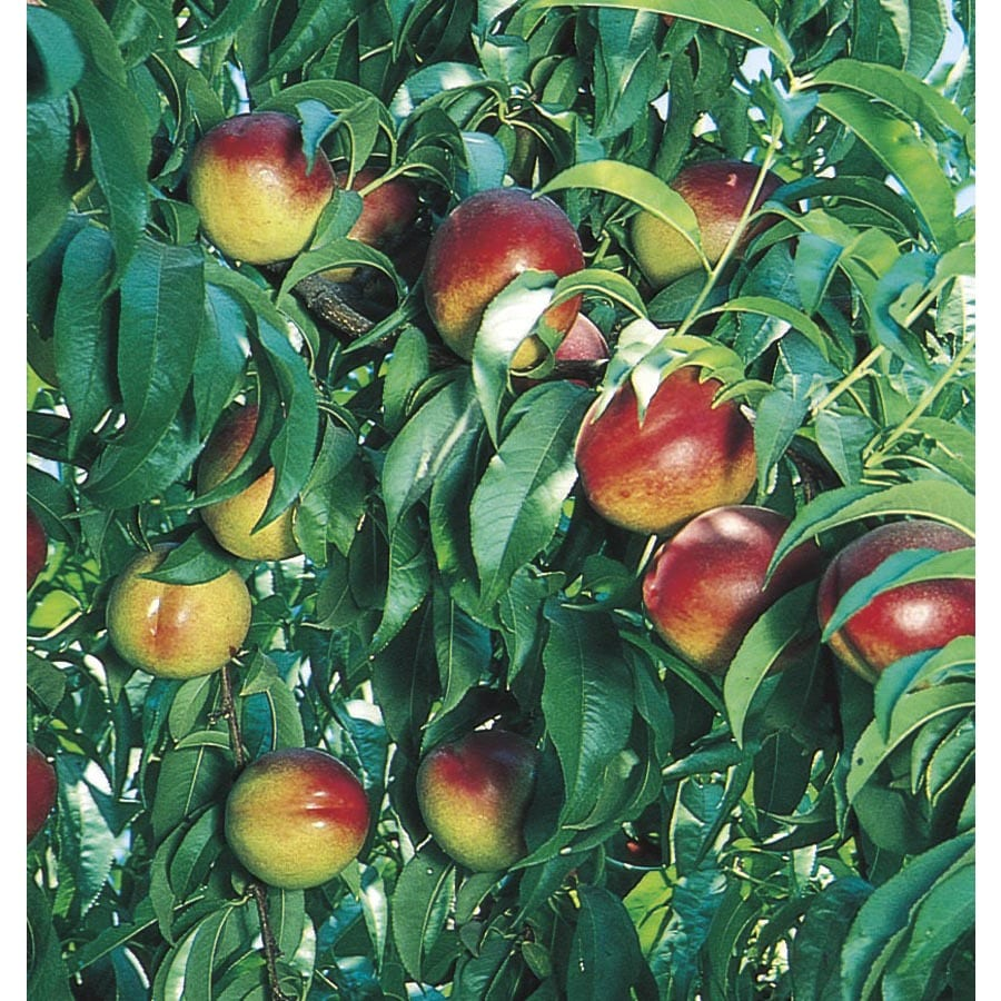 3.4-Gallon Nectarine Tree (L10424)
