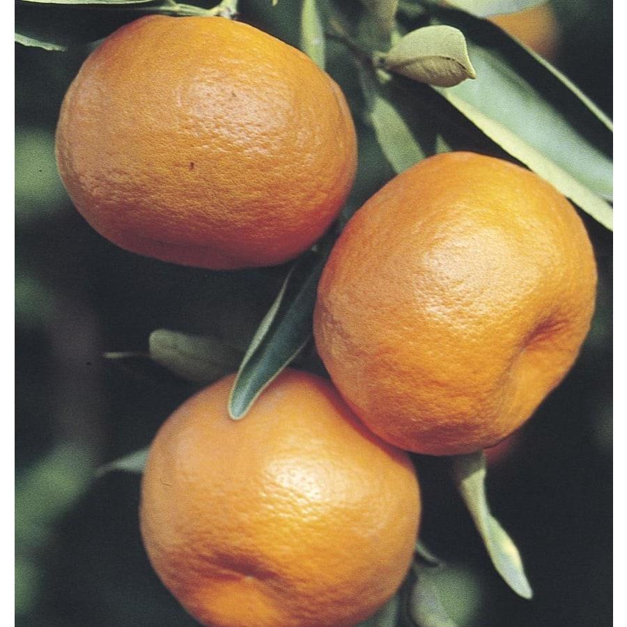 3.4-Gallon Semi-Dwarf Mandarin Tree (L6103)