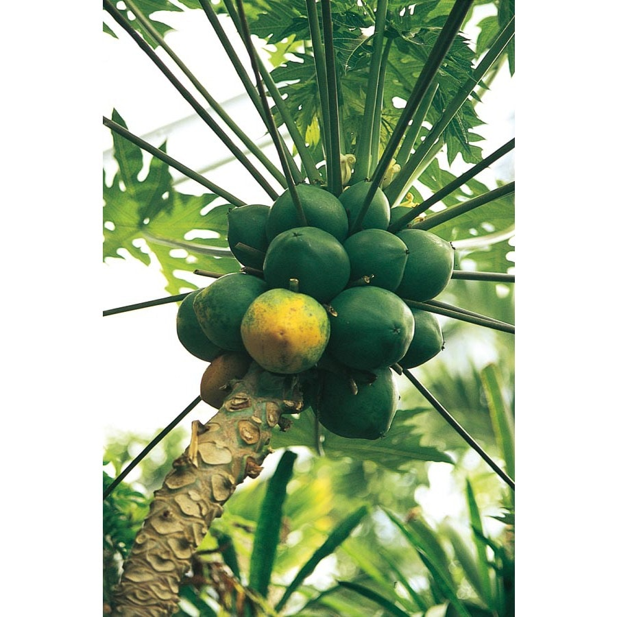 172 Gallon Papaya Tree L14496