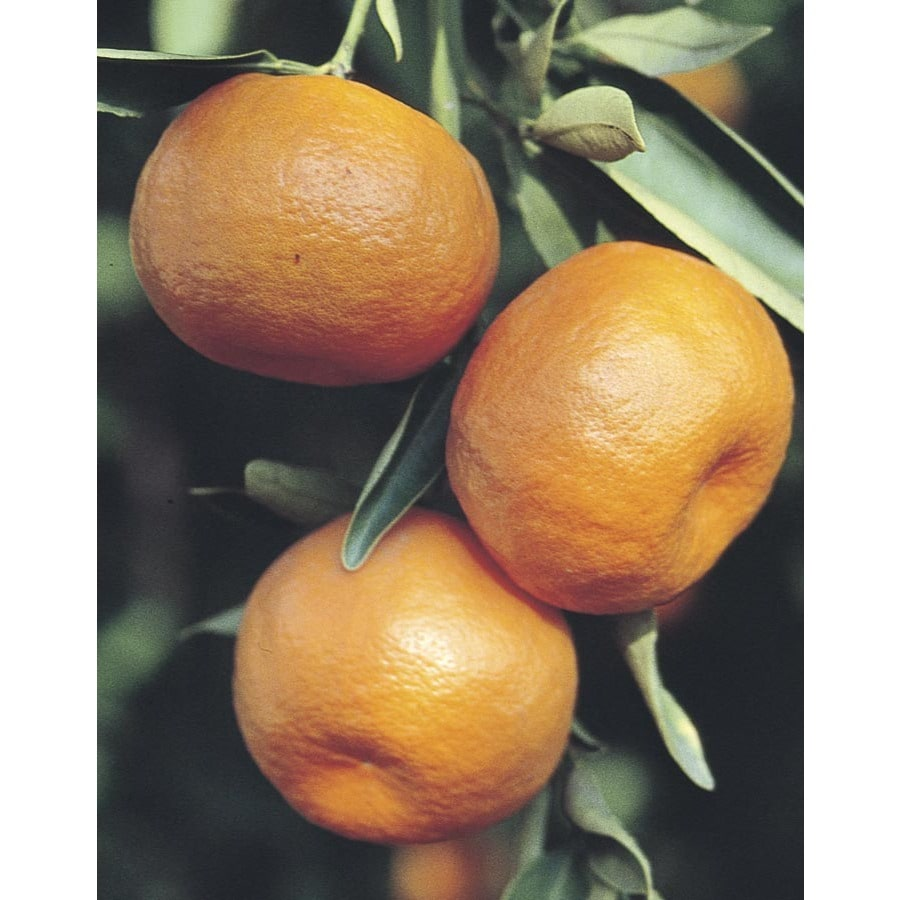 11-Gallon Minneola Semi-Dwarf Tangelo Tree (L6109)