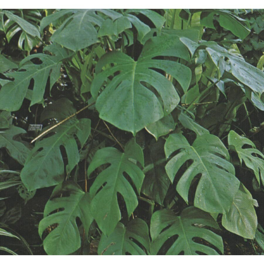 2.25-Gallon Split-Leaf Philodendron (LTL0049)