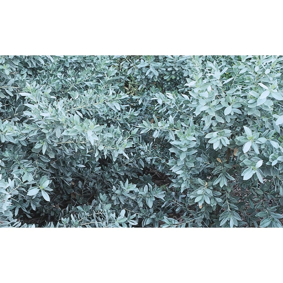 2.25-Gallon Silver Buttonwood Accent Shrub (L6757)
