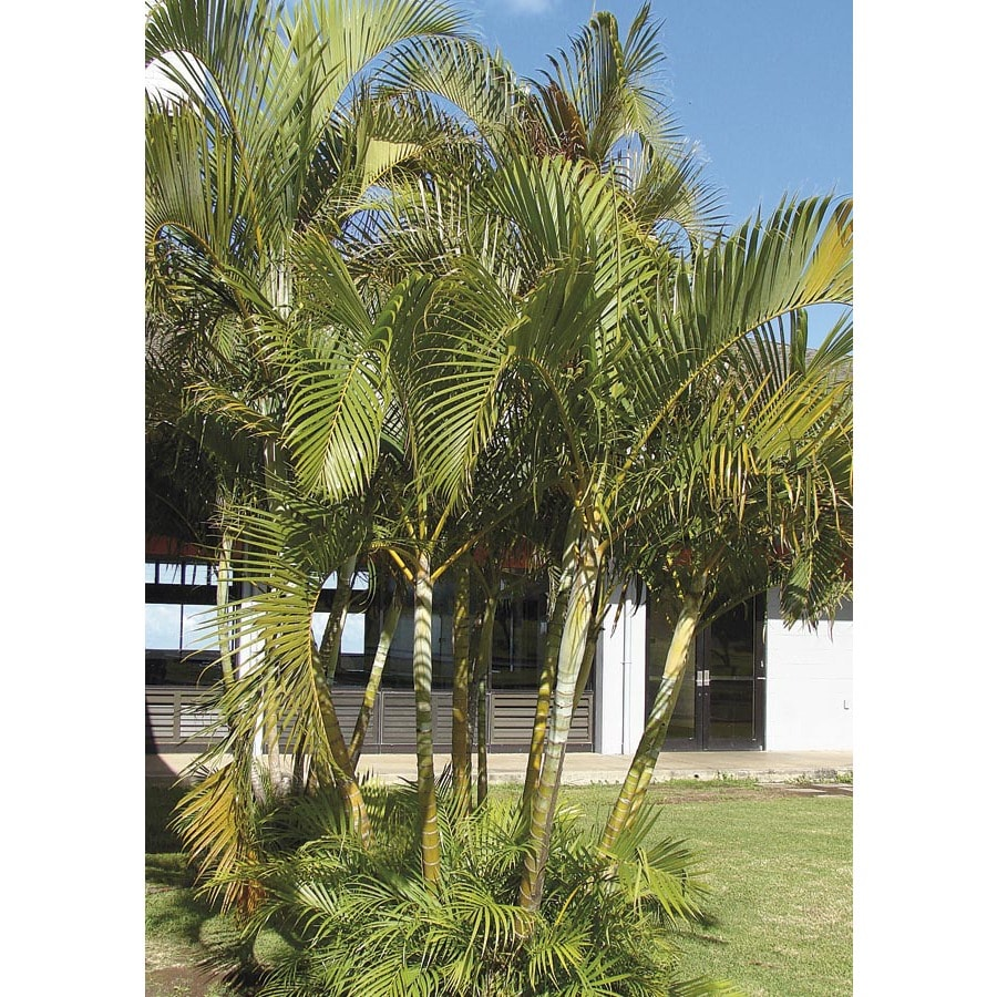 3.25-Gallon Areca Palm (LTL0010)