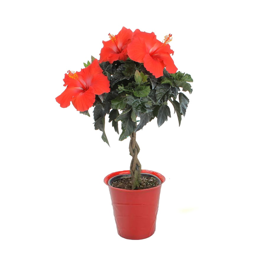 25 Quart Mixed Hibiscus Flowering Shrub In Pot With Soil At Lowescom