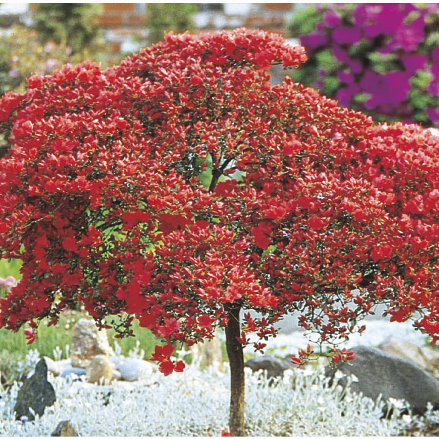 3.25-Gallon Mixed Tree Azalea Flowering Shrub (L7297)