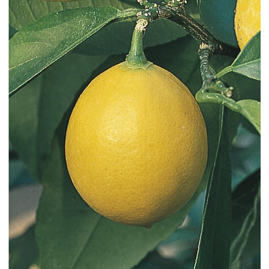 2.8-Quart Semi-Dwarf Lemon Tree (L9116)