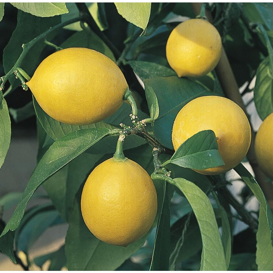 3.58-Gallon Semi-Dwarf Lemon Tree (L9116)