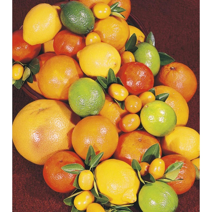 3.25-Gallon Citrus Cocktail Tree (L6805)