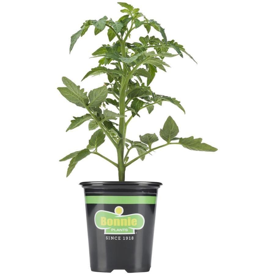 Bonnie 19 3 Oz Potted Tomato Boy Plant