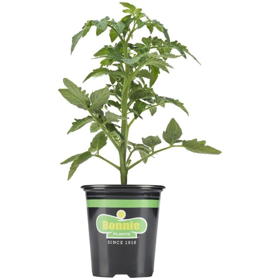 "Picture of 2 (TWO) Live Celebrity Tomato Plant Fit 4"" Pot"