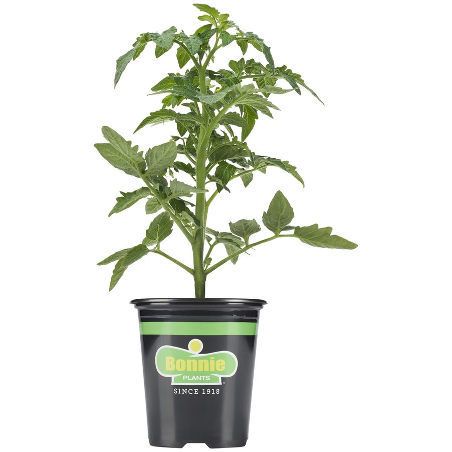 Shop bonnie 19 3 oz tomato husky cherry red plant at Flowers to plant in vegetable garden