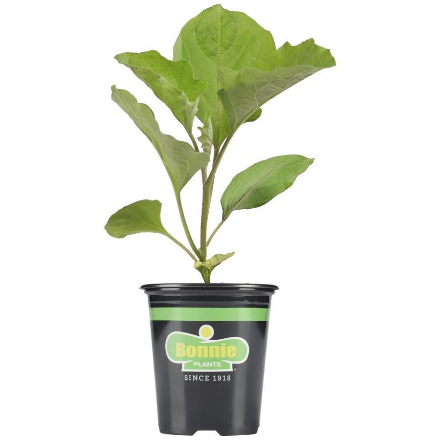Bonnie 19.3-oz Eggplant Black Beauty Plant