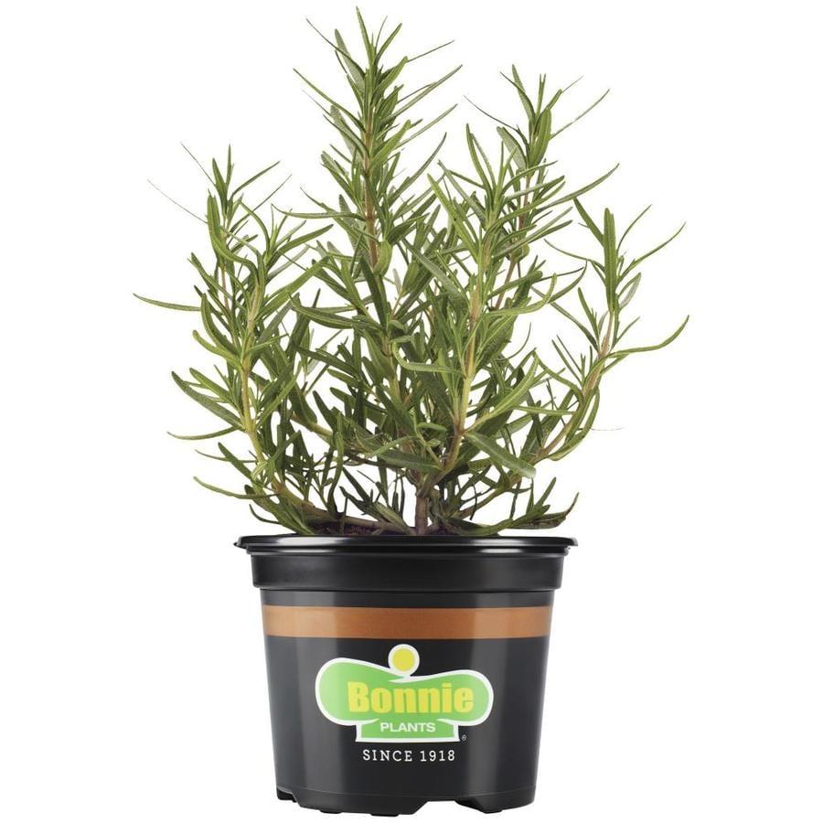 Bonnie 2.32-oz Lavender Plantable Container