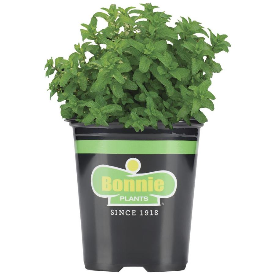 Bonnie 19.3-oz Lemon Balm Pot