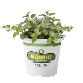 Herb Plants at Lowes com