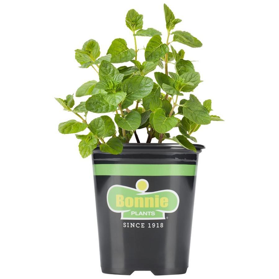 Bonnie 19.3-oz Spearmint Plantable Container