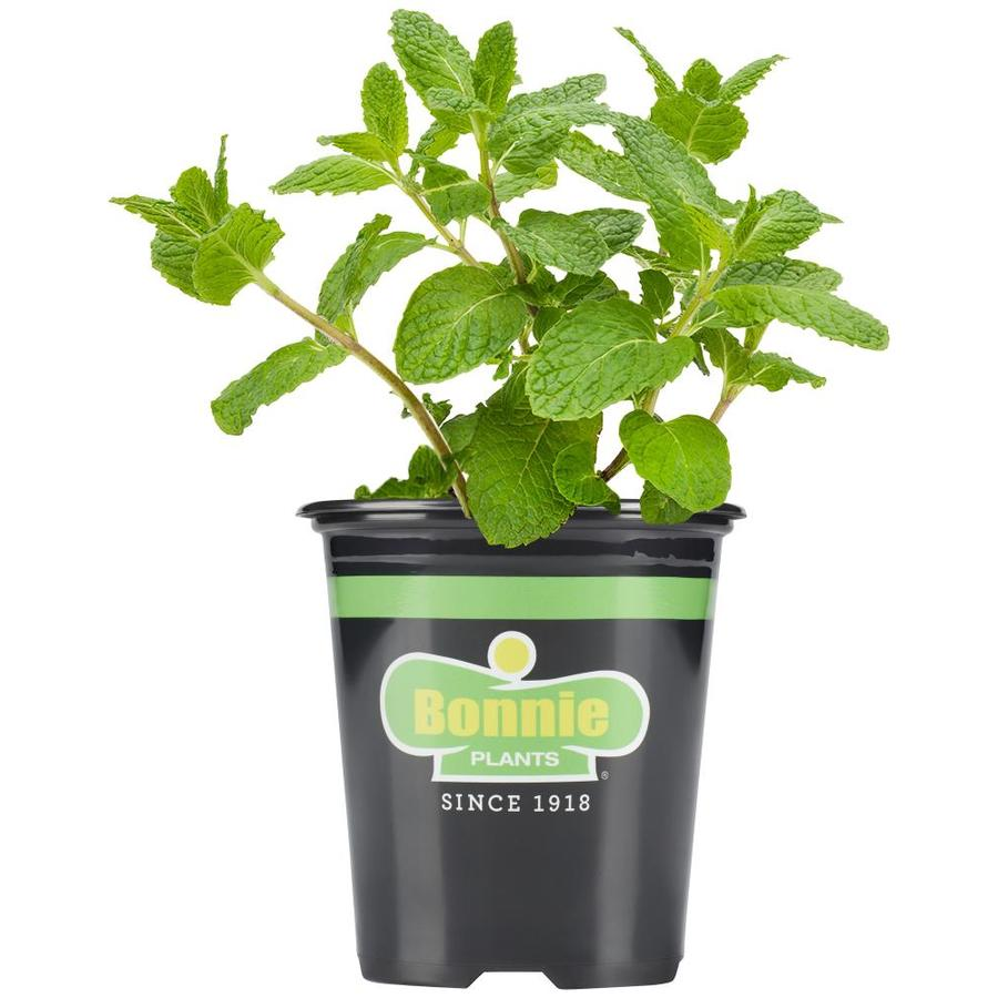 Bonnie 19.3-oz Sweet Mint Plantable Container