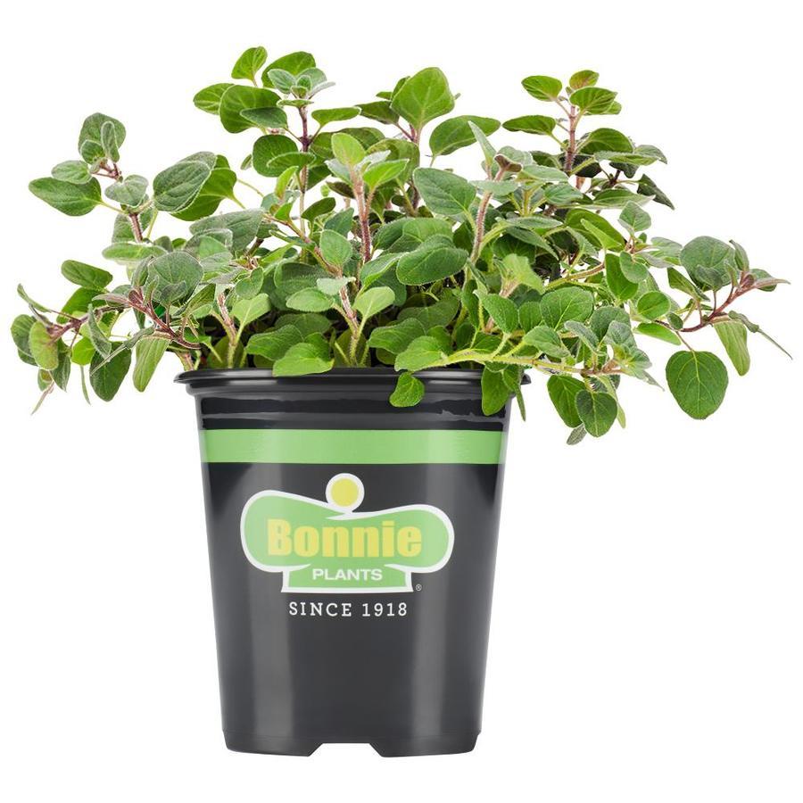 Bonnie 19.3-oz Oregano Plantable Container