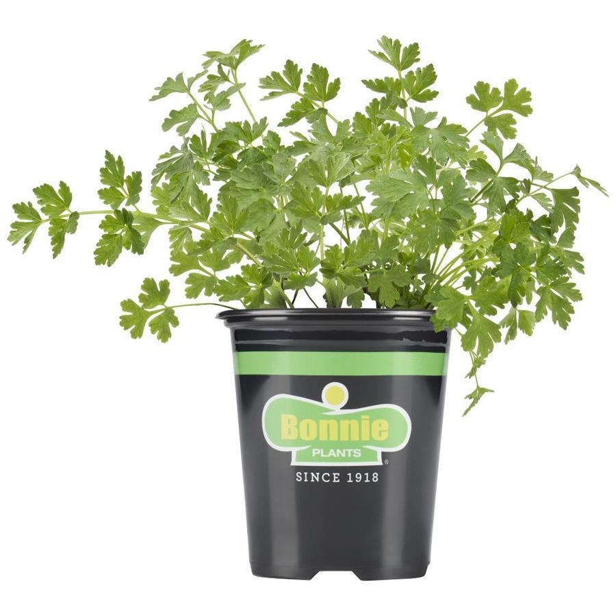 Bonnie 19.3-oz Parsley Plantable Container