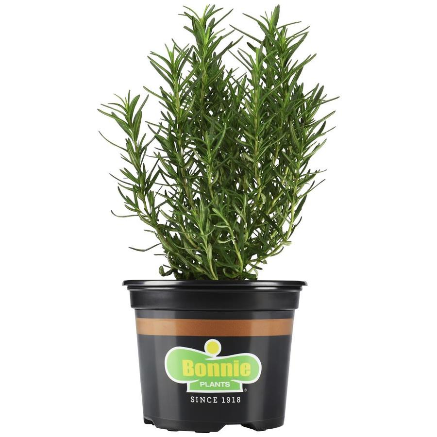 Bonnie 19.3-oz Rosemary Plantable Container