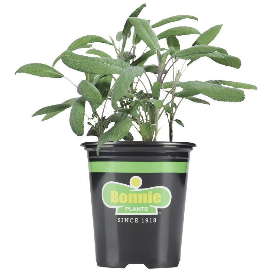 Bonnie 19.3-oz Sage Plantable Container