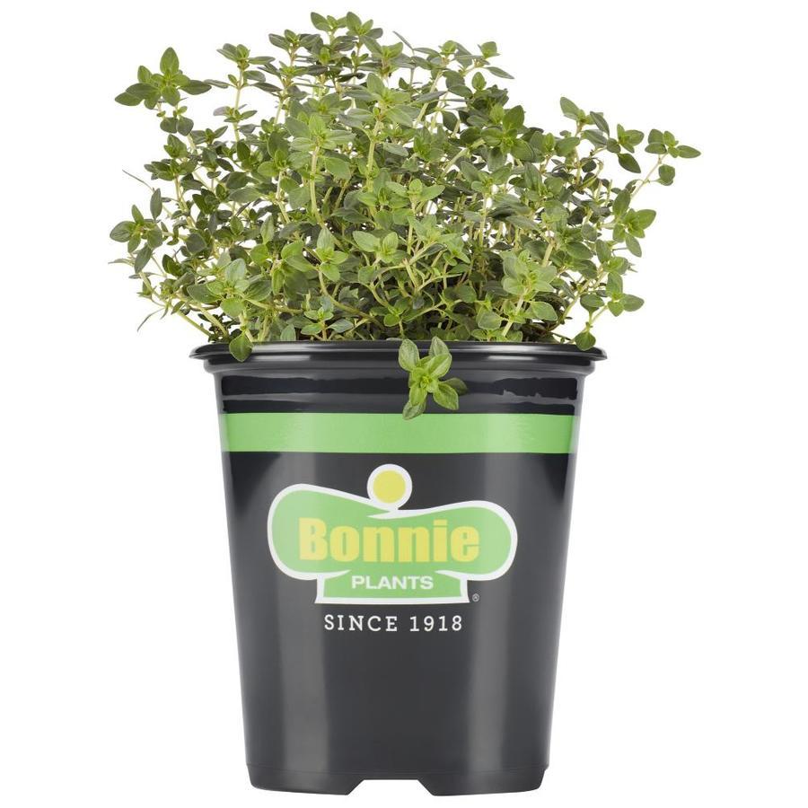 Bonnie 19.3-oz Thyme Plantable Container