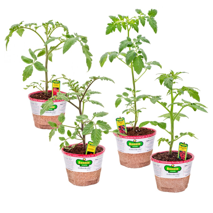 Bonnie 25-oz Celebrity Tomato; Better Boy Tomato; Husky Cherry Red Tomato; Sweet 100 Tomato Plant