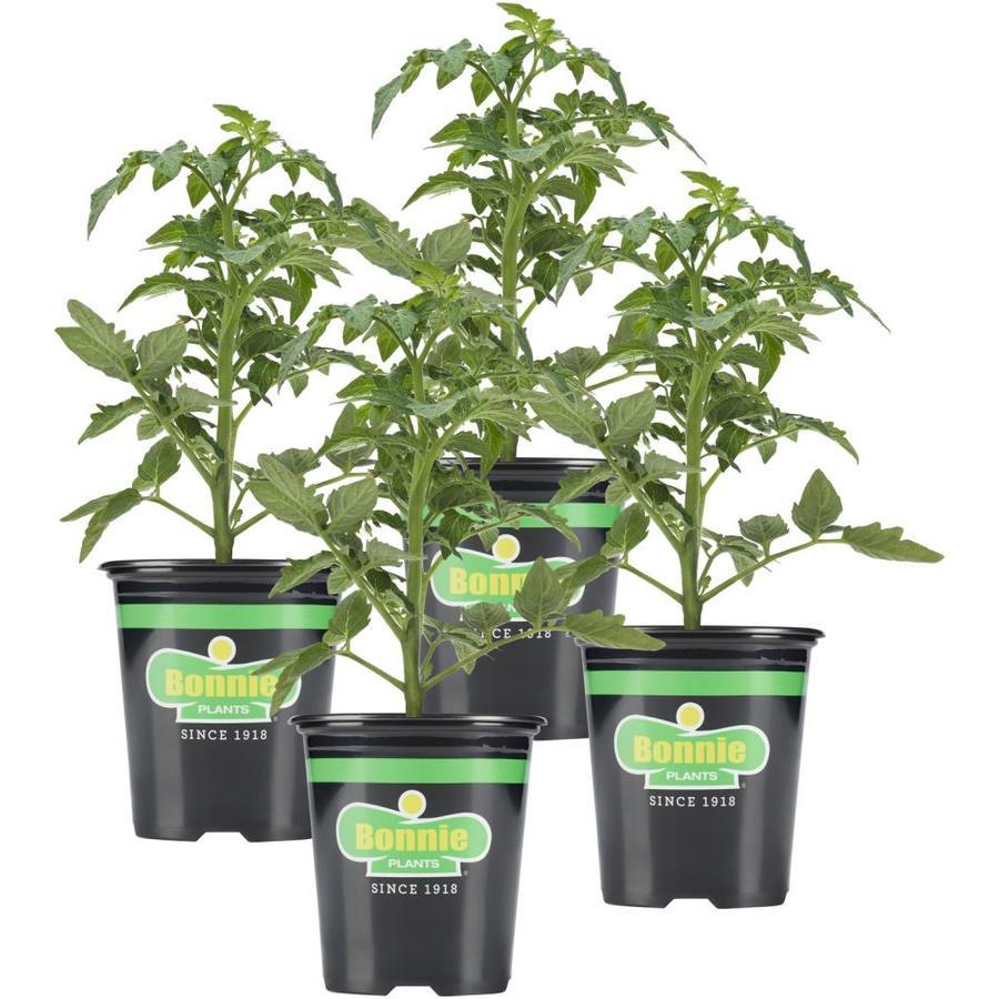Bonnie 25-oz Plant