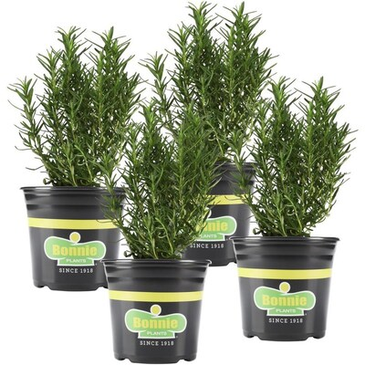 Bonnie 25 Oz In Pot Rosemary Plant At Lowes Com